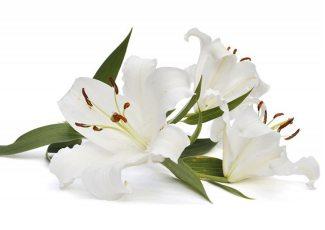 Экстракт концентрат белой лилии
